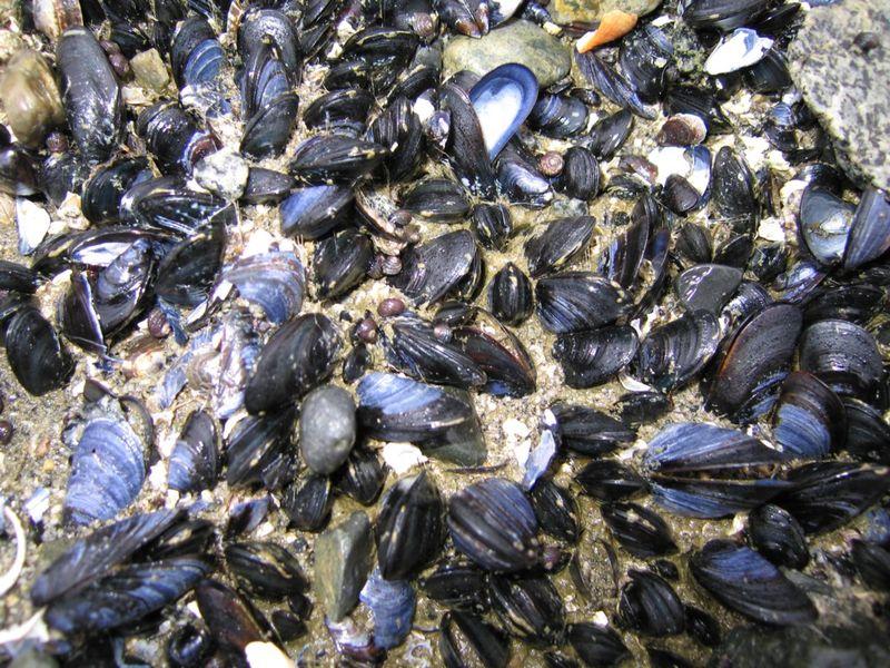 З 1 червня стартує заборона на вилов креветки, мідії та рапана у зоні контролю Чорноморського рибоохоронного патруля