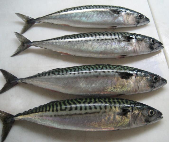 Ловля скумбрии в Чёрном море