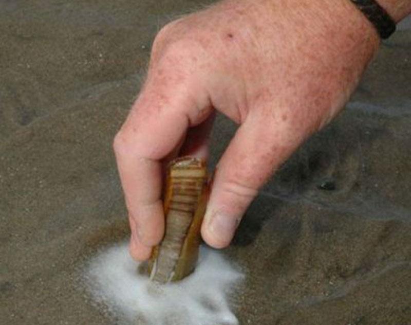 Солен или  морской черенок (Solen marginatus, Pulteney,1799)