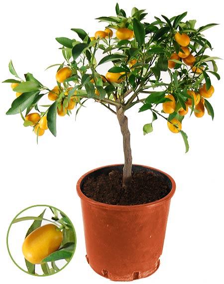 В каких регионах выращивают Кумкват